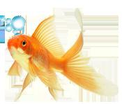 ссылка картинки. перейти к сообщению.  С Днем рождения! .  Дарю золотую рыбку.